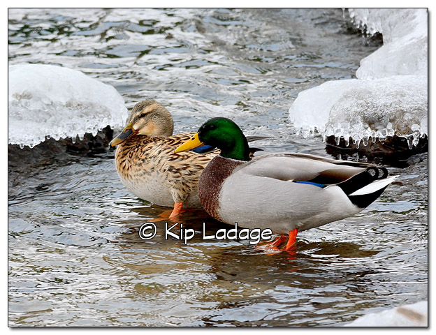 Mallards on Icy Cedar River - Image 408034