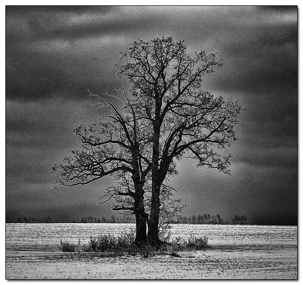 Oak Tree in Snowy Field on Cold Winter Day - Image 408024 (filtered)