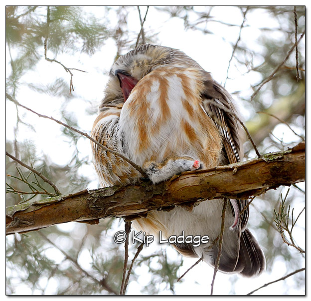 Yawning Saw-whet Owl with Mouse - Image 409765