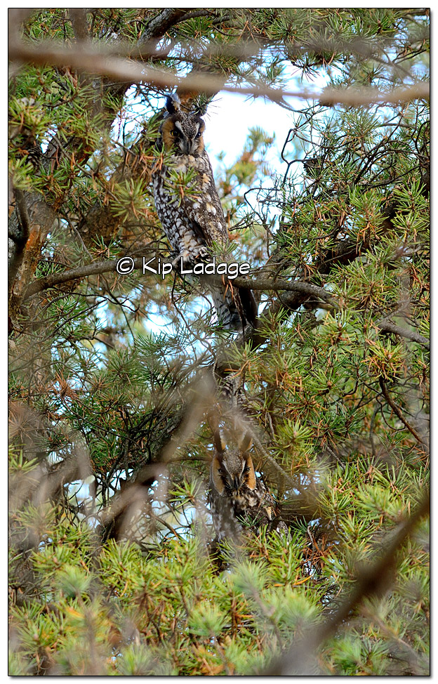 Two Long-eared Owls - Image 407786