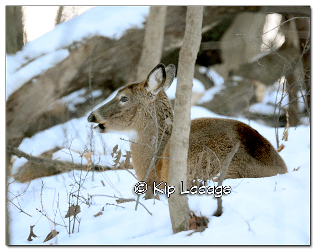 Whitetail Deer - Bedded - Image 409215