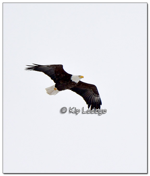 Bald Eagle in Flight on Cloudy Day - image 410667