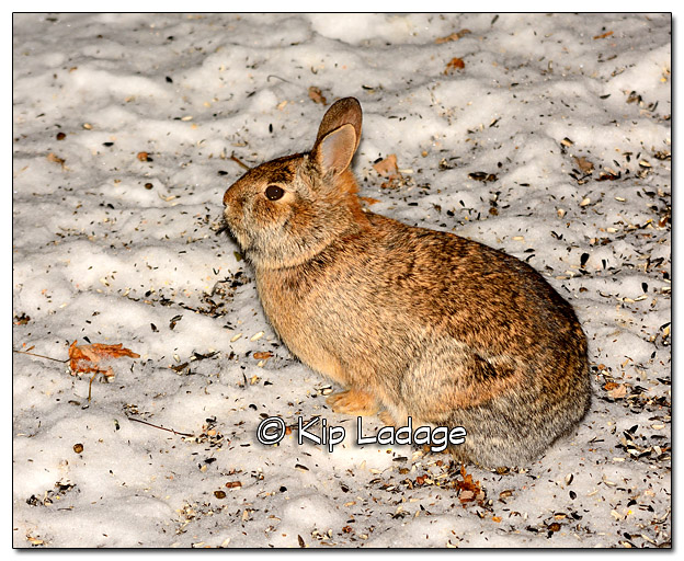 Cottontail Rabbit at Night - Image 410898