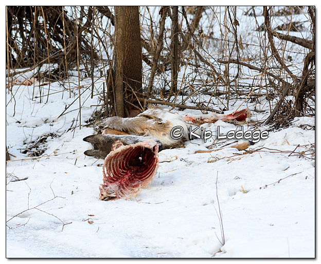 Dumped Whitetail Deer Carcass - Image 410917
