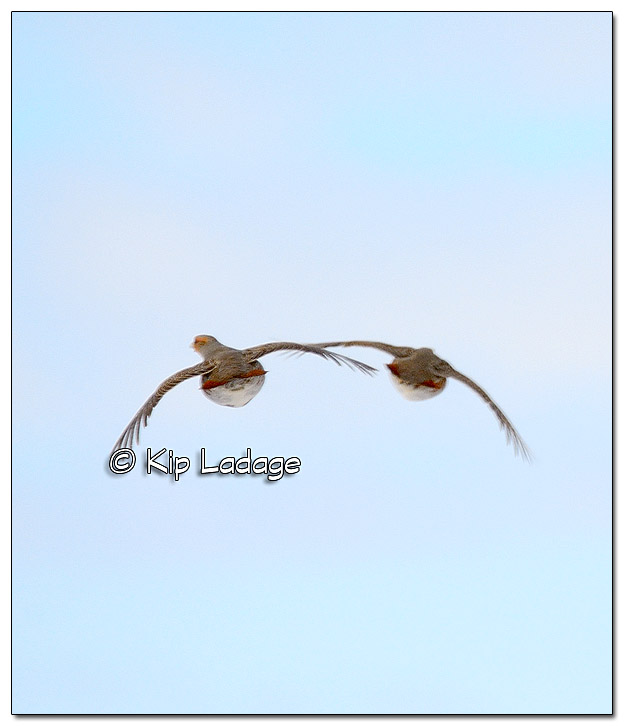Gray Partridges in Flight - Image 412991