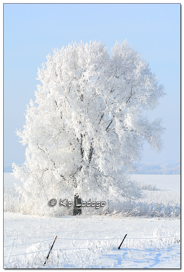 Lone Tree Covered in Hoarfrost - Image 410937