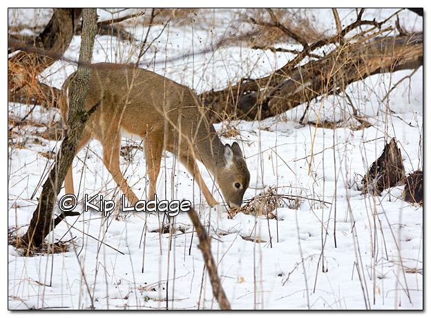 Whitetail Deer in Snow - Image 411158