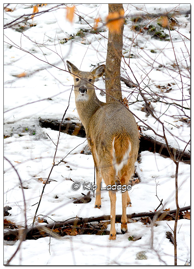 Whitetail Deer in Snow and Ice - Image 410983