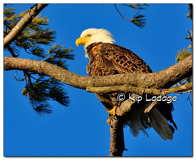 Adult Bald Eagle in Pine - Image 414647