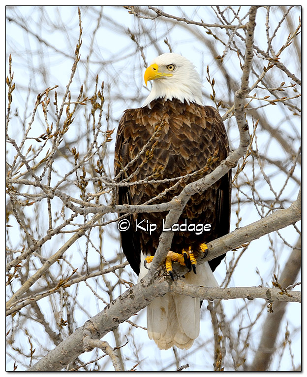 Adult Bald Eagle in Tree - Image 413825