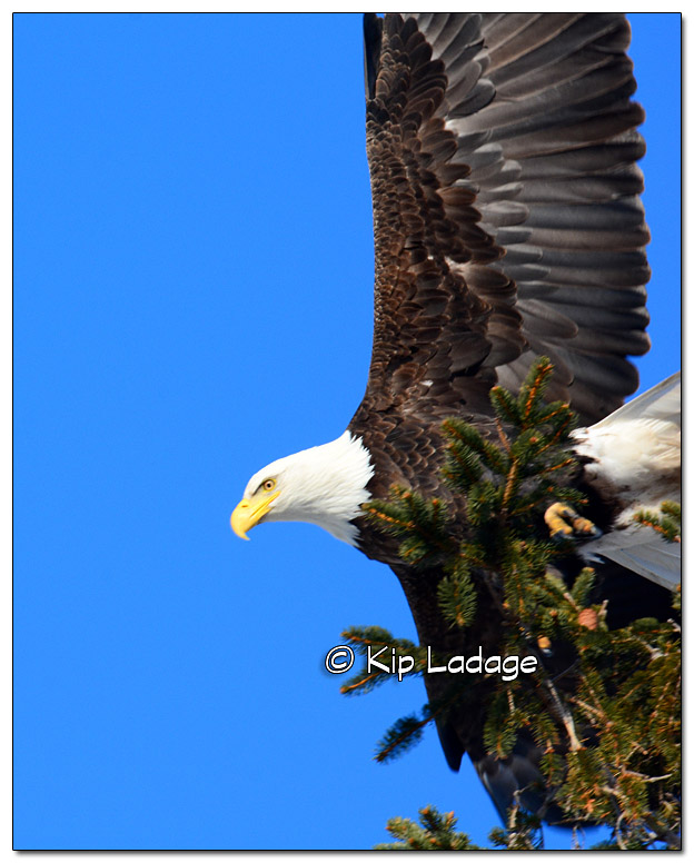 Adult Bald Eagle in Pine - Image 419240 (© Kip Ladage)