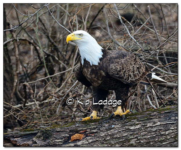Adult Bald Eagle on Log on Ground - Image 419272 (© Kip Ladage)