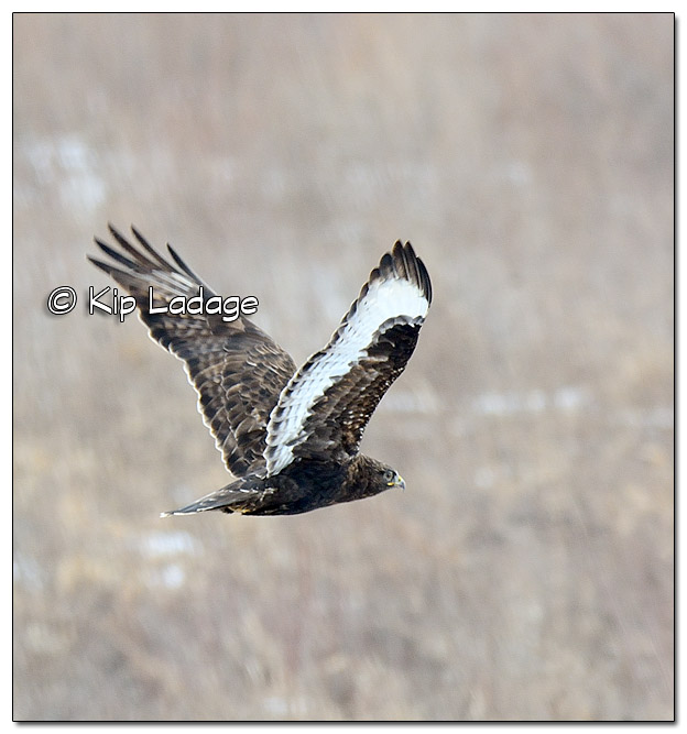 Dark-morph Red-tailed Hawk - Image 414218