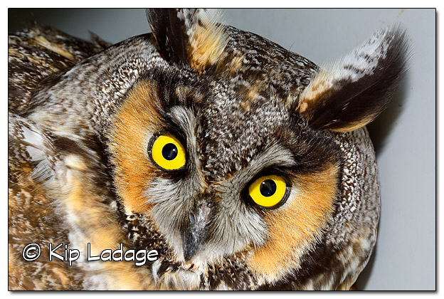 Injured Long-eared Owl - Image 419141 (© Kip Ladage)