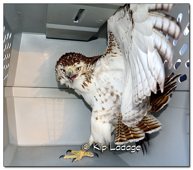 injured Red-tailed Hawk - Image 413310