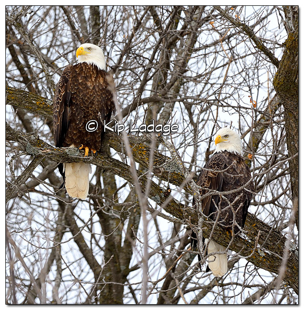 Pair of Adult Bald Eagles in Tree - Image 413738