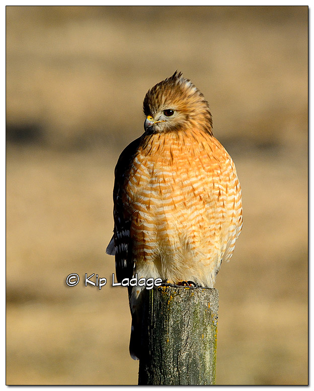 Red-shouldered Hawk on Fence Post - Image 416871