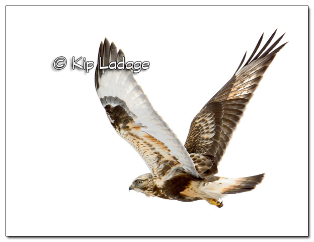 Red-tailed Hawk - Image 413381
