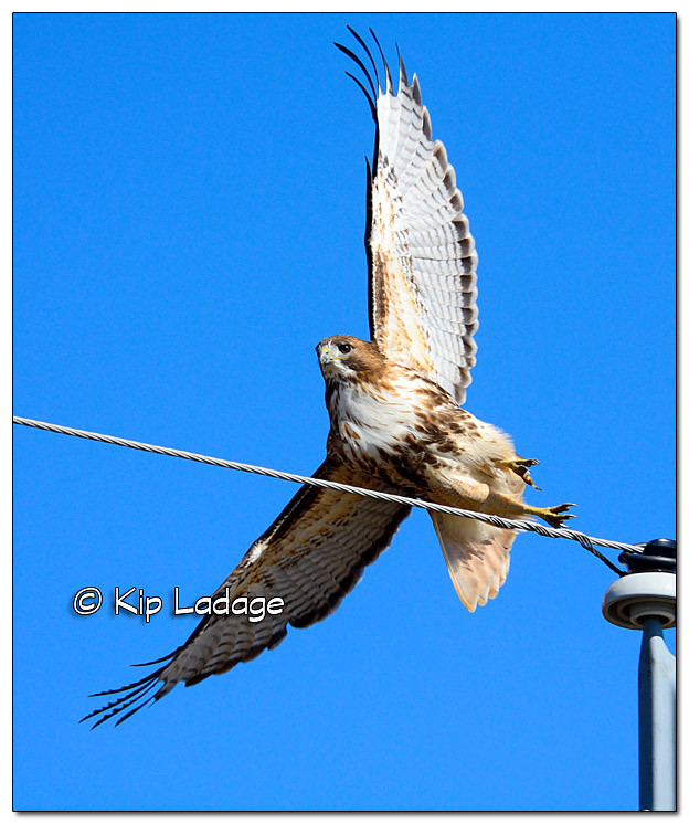 Red-tailed Hawk - Image 417943