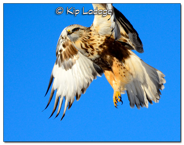Rough-legged Hawk - Image 413358