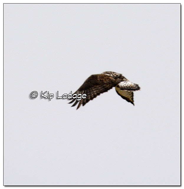 Rough-legged Hawk From a Long Distance - Image 413886