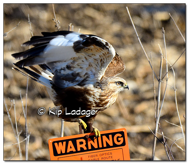 Rough-legged Hawk - Image 414772