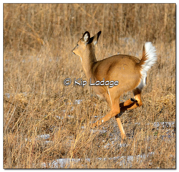 Running Whitetail Deer - Image 413972