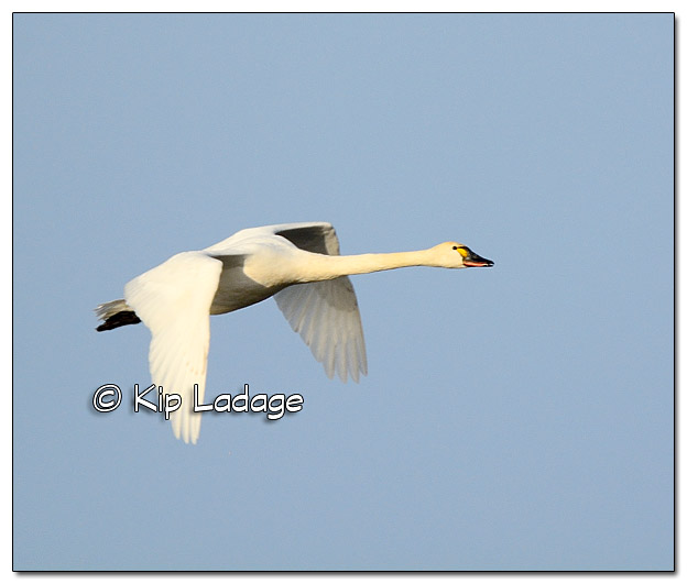 Trumpeter Swans at Sweet Marsh - Image 417820