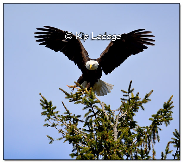 Adult Bald Eagle in Pine Tree - Image 428672 (© Kip Ladage)