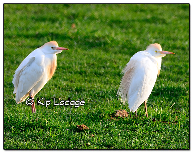 Cattle Egrets in Pasture - Image 431771 (© Kip Ladage)