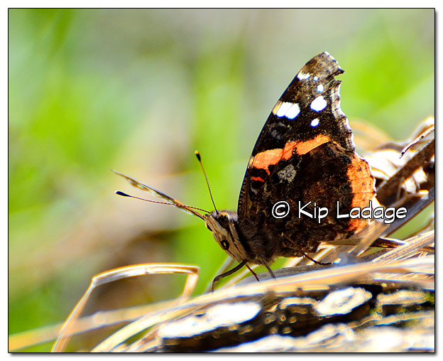 Red Admiral Butterfly  - Image 429736 (© Kip Ladage)