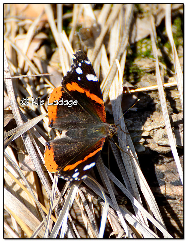 Red Admiral Butterfly  - Image 429754 (© Kip Ladage)