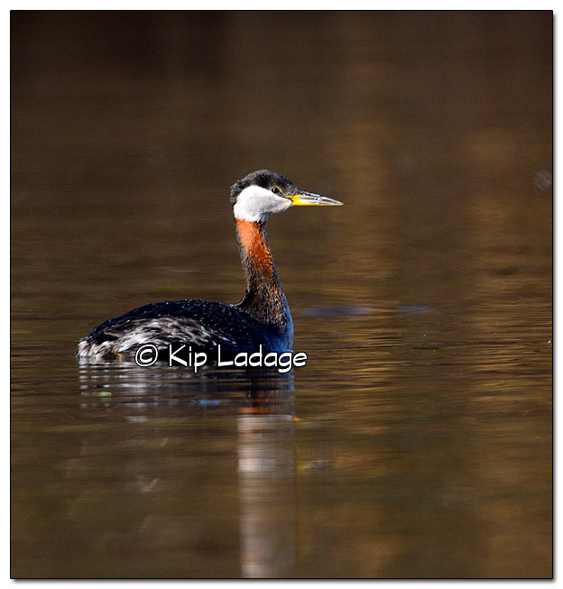 Red-necked Grebe at Big Woods Lake - Image 433341 (© Kip Ladage)