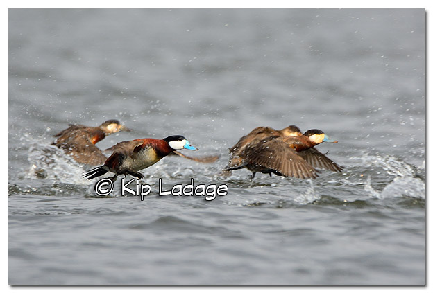 Ruddy Ducks - Image 431042 (© Kip Ladage)