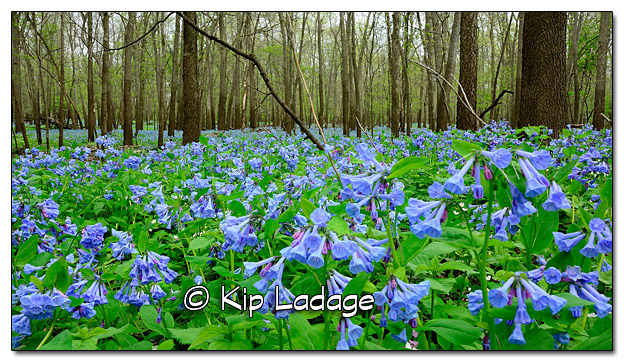 Virginia Bluebells at Ingawanis Woodlands - Image 434755 (© Kip Ladage)