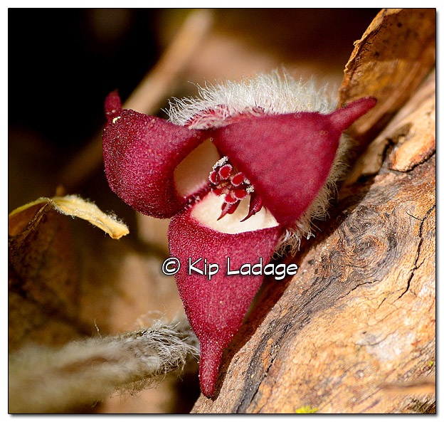 Wild Ginger at Ingawanis Woodlands - Image 434172 (© Kip Ladage)