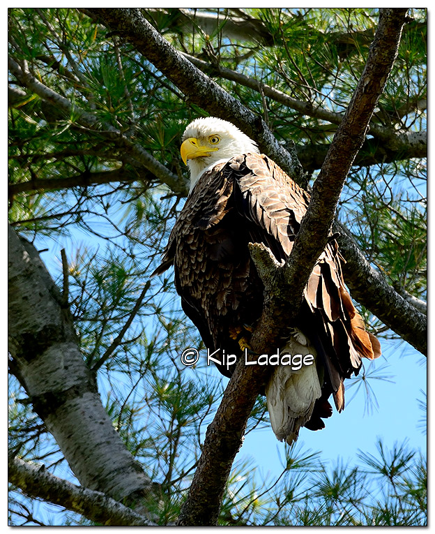 Adult Bald Eagle in Pine Tree - Image 438659 (© Kip Ladage)
