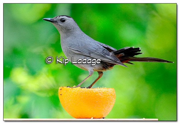 Gray Catbird on Orange - Image 442312 (© Kip Ladage)