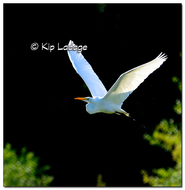Great Egret in Flight - Image 440638 (© Kip Ladage)