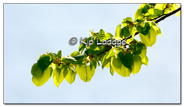 Green Leaves Over Water - Image 439776 (© Kip Ladage)