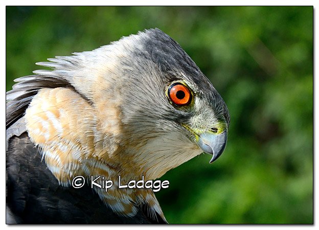 Injured Cooper's Hawk - Image 438965 (© Kip Ladage)