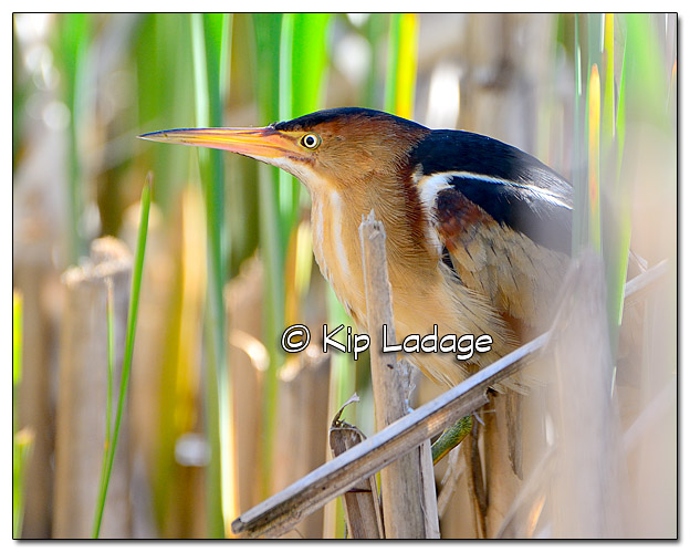 Least Bittern at Sweet Marsh - Image 438423 (© Kip Ladage)