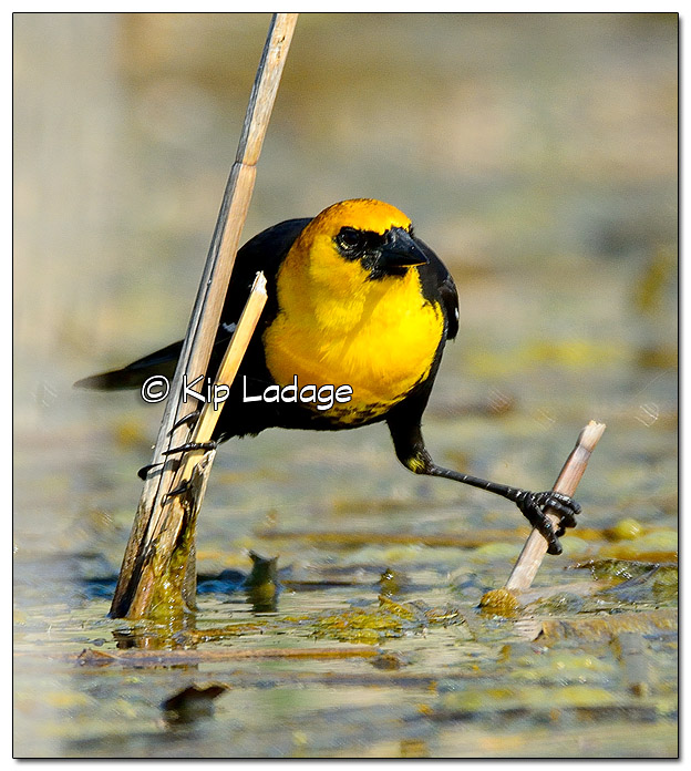 Male Yellow-headed Blackbird in Cattails - Image 440505 (© Kip Ladage)