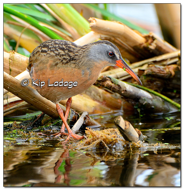 Virginia Rail at Sweet Marsh - Image 443116 (© Kip Ladage)