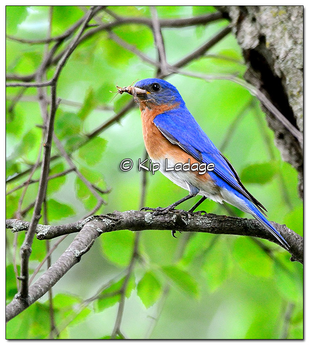 Male Eastern Bluebird - Image 447413 (© Kip Ladage)