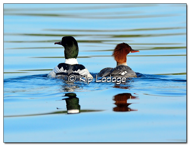 Male and Female Common Merganser- Image 444495 (© Kip Ladage)