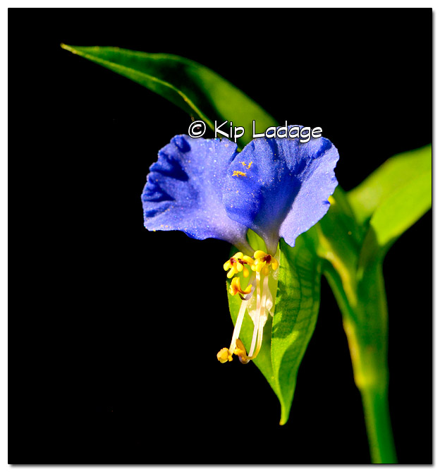 Asiatic Dayflower - Image 449990 (© Kip Ladage)