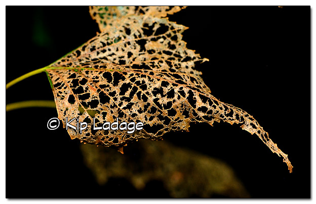 Birch Leaf Lace - Image 452344 (© Kip Ladage)