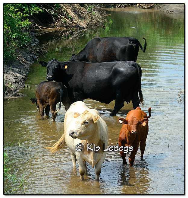 Cattle in Stream - Image 452171 (© Kip Ladage)