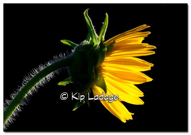 Compass Plant Against Dark Background - Image 451073 (© Kip Ladage)